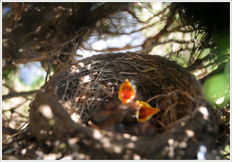 Baby birds open beaks