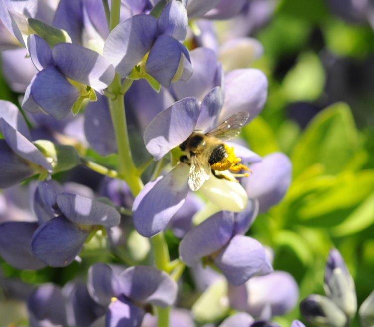 Bee in Baptista2