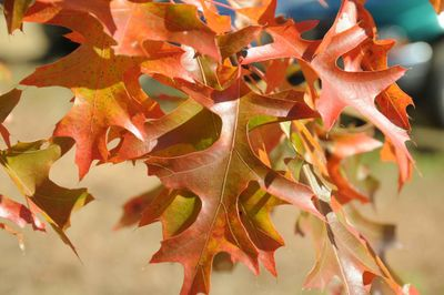 Golden Orange Oak Leaves