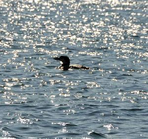 Loon oin the lake.1jpg