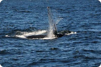 Whale flipper