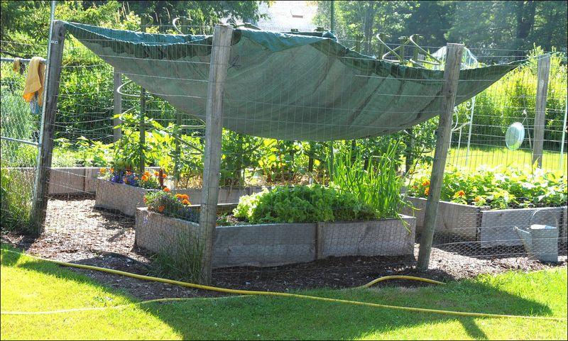 Lettuce shade