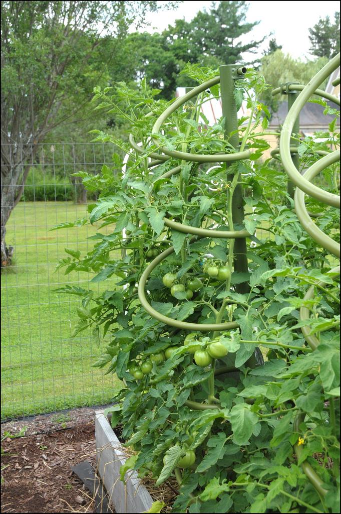 Tomato spirals