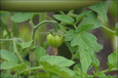 Tomato_June 18