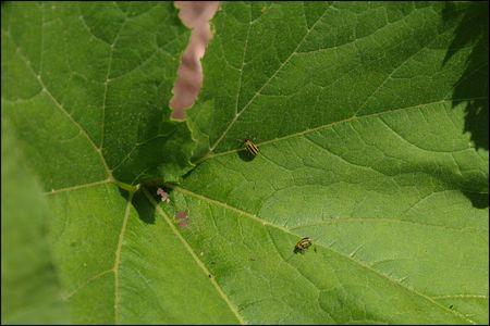Cukecumber beetle