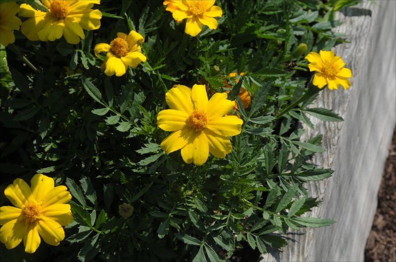 Yellowmarigolds