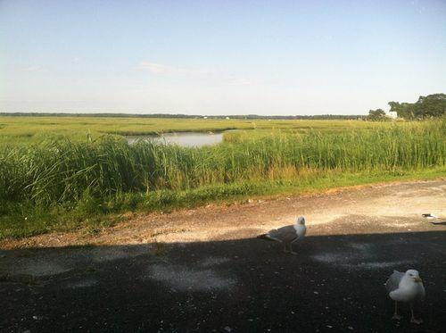 Marshgulls