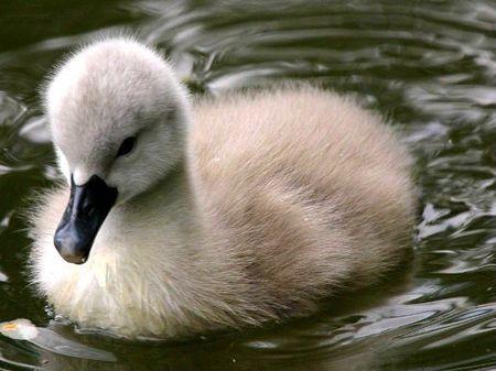 Babyswan