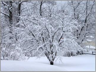 Snowbush_2