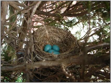 Robin_eggs