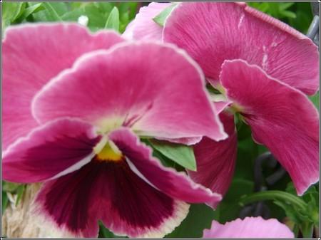 Pink_pansies_2