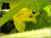 Cucumber_beetle