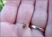 Cuke_beetle