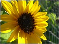 Sunflower_deep_gold