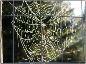 Spider_web_in_dew