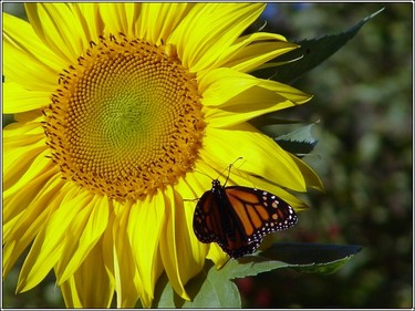 Sunflower_monarch2