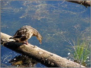 Duck_peering_in_water_2