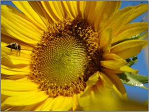 Sunflower_sleeping_bee_2