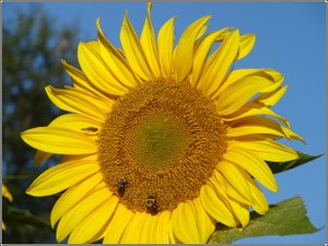 Sunflowers_bees_2