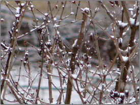 Snowy_branches