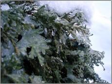Icebush