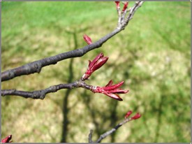 Crab_apple_buds