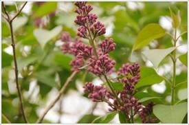 Lilac_buds
