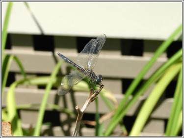 Dragonfly3_1