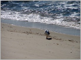 Gull_on_the_beach