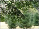 Pine_branchclose