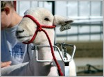 Sheep_halter