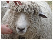 Sheep_hands