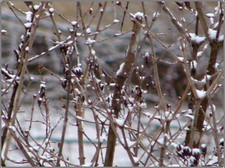 Snowy_branches_1